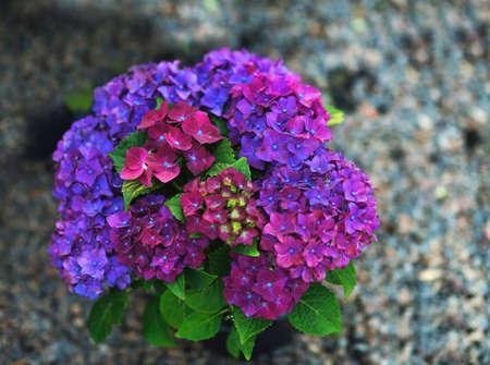 beautiful big hydrangea flower photo