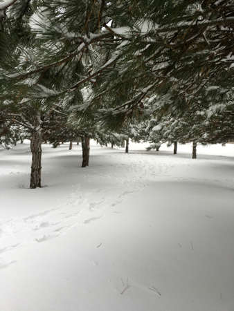 wintery day: white fluffy snow in the park with green pines