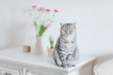 gray tabby: white dresser sits a gray tabby cat British breed and a vase of flowers