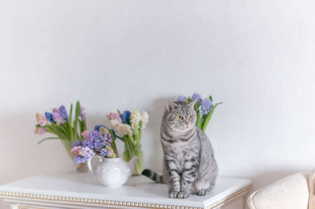 catnip: on a table near the vases with bouquets of hyacinth sitting gray cat British breed Stock Photo