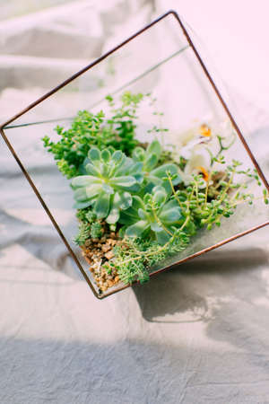 The compositions of succulents in a square aquarium on a white background in the sun Stock Photo