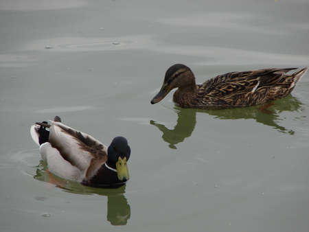 A pair of ducks on river waters