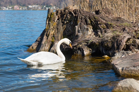 mothering: Swans