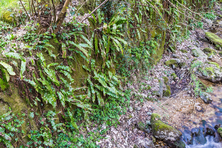 underwood: Phyllitis scolopendrium in its natural habitat. This fern is the only European representative of the genus Phyllitis in Europe is widespread but rare and is almost everywhere in protected species