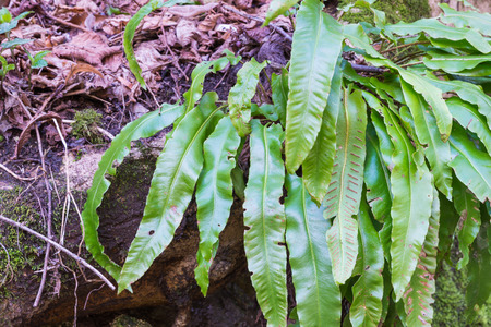 underbrush: Phyllitis scolopendrium in its natural habitat. This fern is the only European representative of the genus Phyllitis in Europe is widespread but rare and is almost everywhere in protected species
