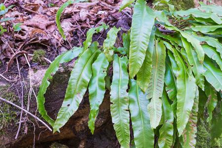 maleza: scolopendrium Phyllitis en su hábitat natural. Este helecho es el único representante europeo de la Phyllitis género en Europa está muy extendida pero poco común y es casi en todas partes de especies protegidas Foto de archivo