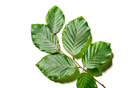 broadleaf: Leaves of Fagus sylvatica on white background. Close up of leaves of Fagus sylvatica, the tree is part of the family fagaceae Stock Photo