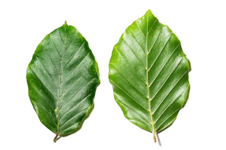 Leaves of Fagus sylvatica on white background. Close up of the upper and lower part of leaves of Fagus sylvatica, the tree is part of the family fagaceae