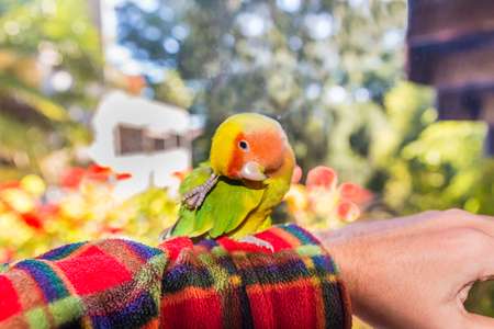 lovebird: Colorful parrot Lovebird - Agapornis roseicollis. Agapornis roseicollis, also called peach faced lovebird parrot or, on the arm while he scratches Stock Photo
