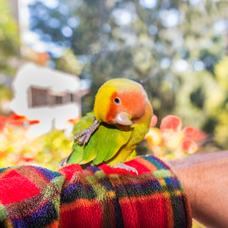 Colorful parrot Lovebird - Agapornis roseicollis. Agapornis roseicollis, also called peach faced lovebird parrot or, on the arm while he scratches Stock Photo