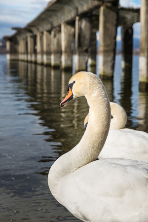 Closeup and profile of a white swan wild with attentive look Stock Photo