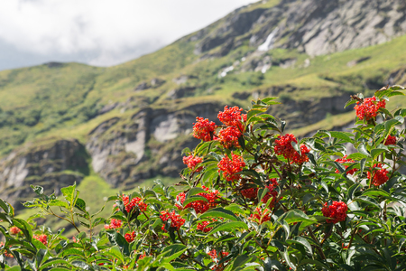 Characteristic and showy small mountain tree with red berries. Sorbus aucuparia, commonly called rowan and mountain-ash, small tree photographed on the Alps at the end of August, on blurred background