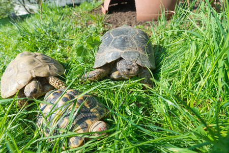 Marginated tortoise (Testudo marginata sarda), in the center, in a green meadow with two common turtles. Selective focus Stock Photo