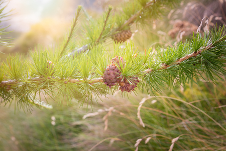 Sprig of European Larch (Larix decidua) with pine cones on blurred background and copy space. Photo taken in the summer on the Alps. The larch is the only deciduous European conifer