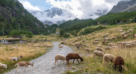 Flock of sheep graze in the mountain, on Alps. Concept of traditional activity. Macugnaga, Italy