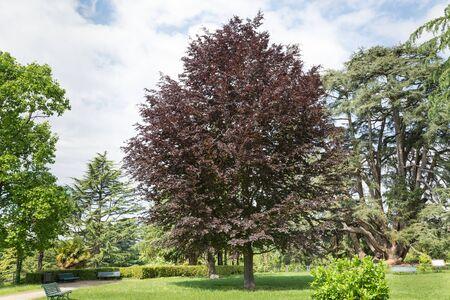 Rotbuche oder Purpurbuche (Fagus sylvatica purpurea). Dekorativer Baum mit rot-violett-roten Blättern, der in großen Gärten oder Parks verwendet wird. Europäischer Baum, öffentliche Gärten von Varese oder Gärten von Estensi
