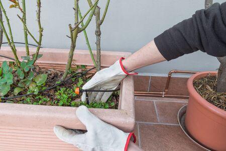 Gartenarbeit zu Hause. Bewässerungsanlagen. Tropfbewässerungssystem und Tropfer im Blumentopf mit Rosenpflanzen Standard-Bild