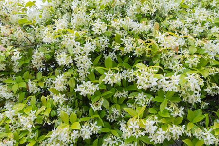 White flowers in bloom. Trachelospermum jasminoides, ornamental climbing plant commonly called Confederate jasmine, Southern jasmine, Star jasmine, Confederate jessamine, Chinese star jasmine