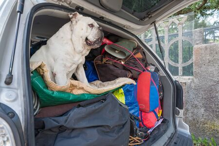 Pile of luggage in the car. Dog leaving for the summer holidays, white english bulldog. Concept of no abandonment of animals during the summer