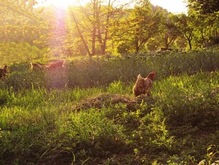 natureal: Primo piano di una gallina in una fattoria con sfondo colorato