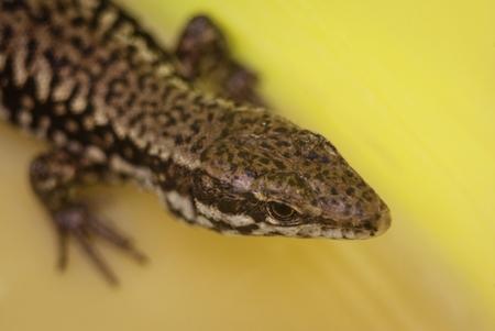 prin: increíble cabeza del cuerpo del lagarto punteado colorido patern