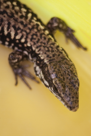 amazing lizard body head dotted colorful patern Stock Photo