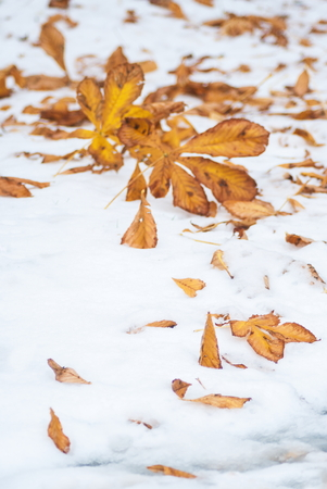 seson: Fallen gold yellow foliage on the snowd at fall winter seson cold beautiful day Stock Photo