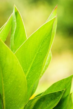 waterdrops: Big green flower leaves with waterdrops, blured background