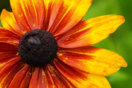 venation: Sun flower close up with green blured background