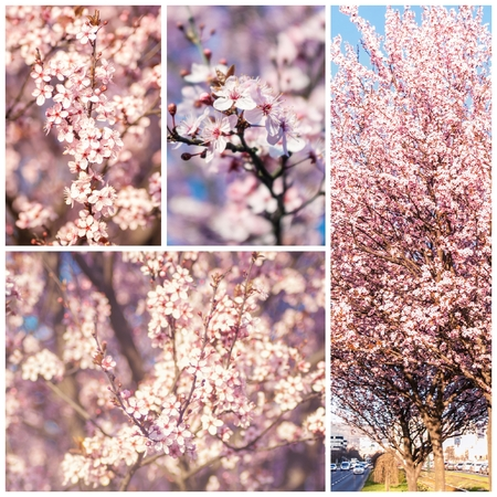 seson: Blossoming flowers tree in park at early spring seson