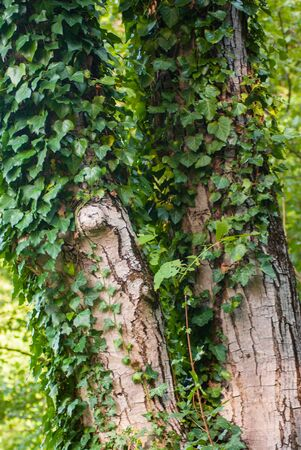 hanging around: Green ivy bunch hanging around wood tree in the forest