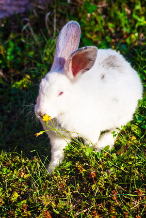 rabit: White little rabbit outdoor on the green grass at sunny day