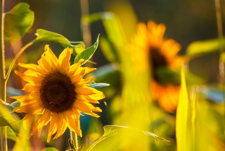 Marvelous golden yellow sunflowers at countryside meadow Stock Photo