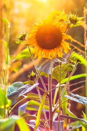 marvelous: Marvelous golden yellow sunflowers at countryside meadow Stock Photo