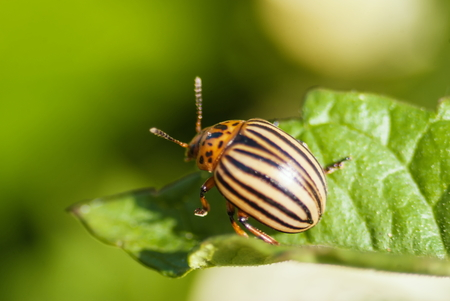 Potato beetle bug eating potato leaf at garden harvesting season