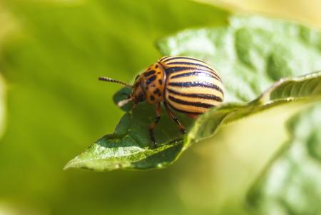 pest control: Potato beetle bug eating potato leaf at garden harvesting season