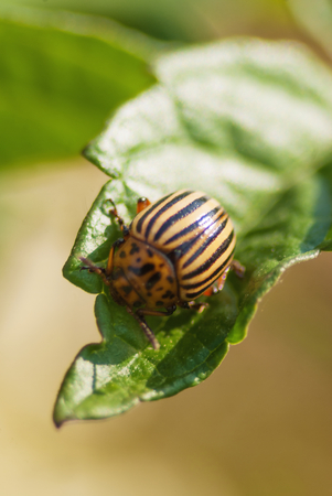 Potato beetle bug eating potato leaf at garden harvesting season