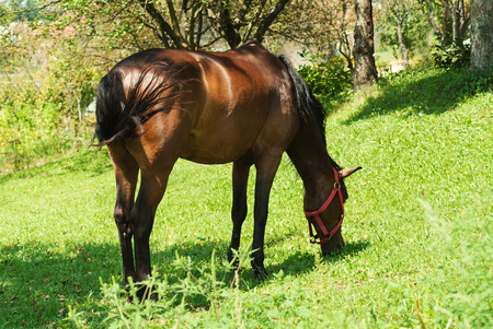 beautiful brown domestic horse eating grass alone