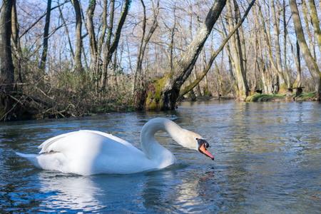 Beautiful white swimming on lake at park at beautiful sunny day Stock Photo