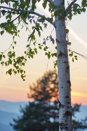 White Birch tree with beautiful sunshine teal orange sky landscape.