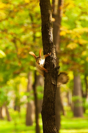 Small red squirrel on a tree trunk(22).jpg