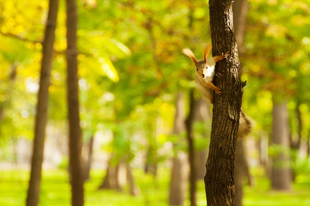 Small red squirrel on a tree trunk (2)(22).jpg photo