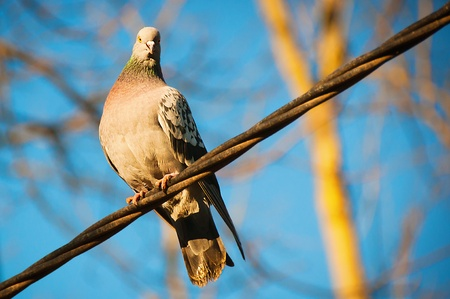 afar: The beautiful pigeon sits on a wire and looks afar