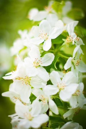 Tree branch covered with white beautiful florets Stock Photo - 13694018
