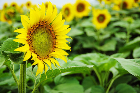 agrar: sunflower