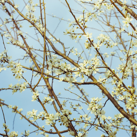 sky brunch: Blossoming tree brunch with blue sky