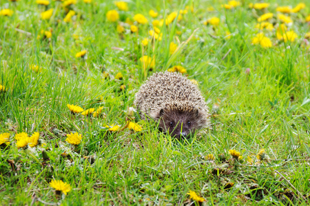 Hedgehog walking in the grass in wood.