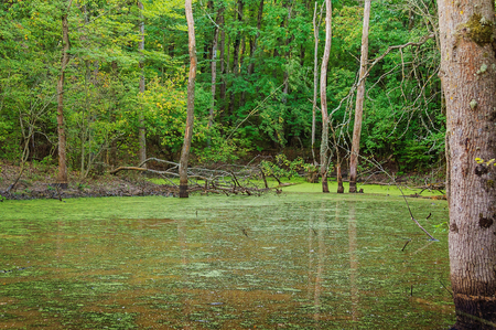 marshy: Green marshy lake with duckweed in forest