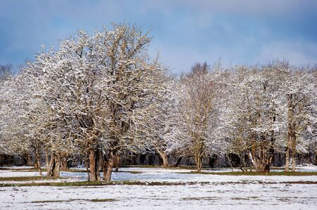 ponderosa pine winter: Peaceful Winter Landscape in forest. Winter Russia. Stock Photo
