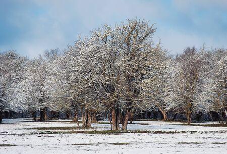 frozen trees: Sunrise in a winter forest. frozen trees in winter.